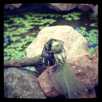 The dragonfly as a symbol stands for dreams, change, speed and action!